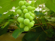 Grapes on vine. A bunch of grapes on the vine Stock Photo