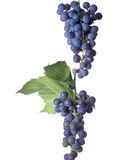 Grapes on The Vine Royalty Free Stock Image