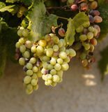 Grapes on the vine. Grapes growing on the vine on the island of Crete royalty free stock photography