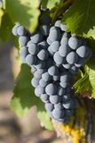 Grapes on the vine. Ripe Cabernet Franc grapes on the vine in the Loire Valley (France) ready for harvest Stock Image