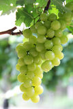 Grapes on a vine. Green grapes hanging on a vine Royalty Free Stock Photo