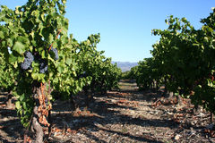 Grapes on the vine. In a vineyard Royalty Free Stock Photo