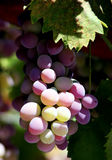 Grapes on the vine. Waiting to be eaten Royalty Free Stock Image