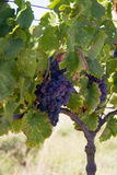 Grapes on vine. Cabernet grapes on vine in South Africa Royalty Free Stock Image