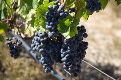 Grapes on vine Stock Photo