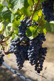 Grapes on vine. Cabernet grapes on vine in South Africa Royalty Free Stock Images