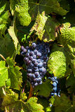 Grapes on vine. Cabernet grapes on vine in South Africa Stock Photos