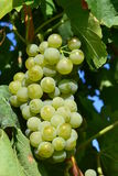 Grapes on vine Royalty Free Stock Images