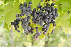 Grapes on a vine. Fresh grapes on a vine ready for harvest Royalty Free Stock Photos