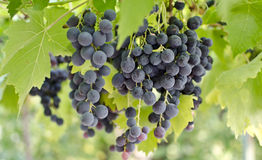 Grapes on a vine. Fresh grapes on a vine ready for harvest Stock Photography