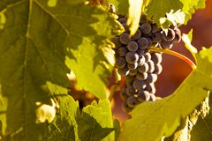 Grapes in vine Royalty Free Stock Photo