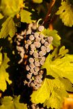 Grapes in vine Stock Image