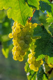 Grapes on the vine Royalty Free Stock Photography