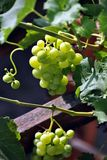 Grapes in vine. Green fresh grapes in a grapevine royalty free stock images