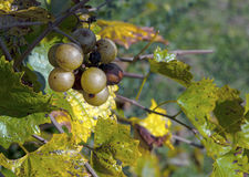 Grapes on a Vine. Wine grapes of the scuppernong variety growing on a vine in the southeast United States Royalty Free Stock Photography