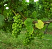 Grapes on vine. Stock Images