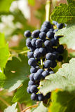 Grapes on a vine 3 Royalty Free Stock Photo