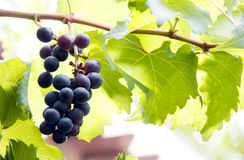 The Grapes. The grapes on a vine royalty free stock photo