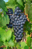 Grapes on Vine Royalty Free Stock Photography