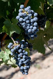 Grapes on vine Royalty Free Stock Image