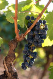 Grapes on vine. Black grapes on a vine royalty free stock photos
