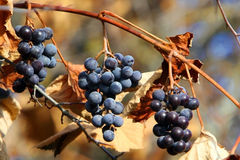 Grapes on vine. Wild grapes on withered vine in the late fall royalty free stock photos