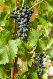 Grapes on a vine 6 Royalty Free Stock Image