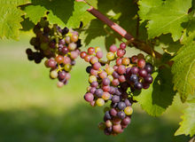 Grapes on a vine. Ripening grapes on a vine in a vineyard royalty free stock images