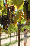Grapes on a vine Stock Images