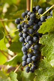 Grapes on a vine 8 Royalty Free Stock Image