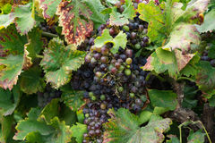 Grapes on the vine- Assignment File Stock Images