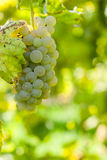 Grapes on the vine with blurred background Royalty Free Stock Images