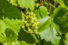 Grapes on the vine. Bunch of green grapes growing on the vine Royalty Free Stock Photos