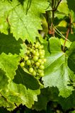 Grapes on the vine. Bunch of green grapes growing on the vine Stock Photography