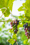 Grapes on vine Stock Images