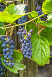 Grapes on vine Stock Photos