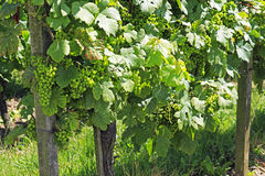 Grapes on the Vine. Bunches of plump green grapes on the vine Royalty Free Stock Photos