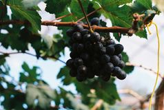 Grapes on a vine. Royalty Free Stock Photos