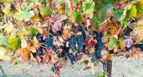 Grapes on the vine, California winery royalty free stock photography