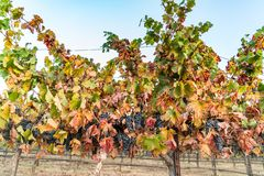 Grapes on the vine, California winery stock photo