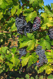 Grapes on the vine. Close up of red grapes on the vine in Napa Valley, California. Napa Valley is the main wine growing region of the United States and one of Royalty Free Stock Image