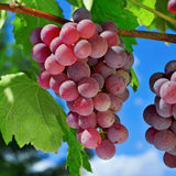 Grapes on a vine. Closeup of bunch of ripe grapes on a vine, shortly before harvest royalty free stock photography