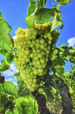 Grapes on a vine Stock Image