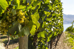 Grapes on the Vine Closeup Stock Photos