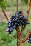 Grapes on a Vine. A cluster of grapes, ready to be harvested at a local winery in Niagara-on-the-Lake, Ontario, Canada Stock Photos