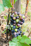 Grapes on a vine. A cluster of grapes on a vine shortly before harvest Stock Image