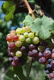 Grapes on the vine. Colorful bunch of ripening grapes hanging from a vine at a vineyard Royalty Free Stock Photography
