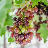 Grapes. On vine day time Stock Photo