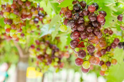 Grapes. On vine day time Stock Images