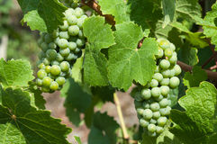 Grapes on vine. Detail of grapes on a vine in a Moselle vineyard Royalty Free Stock Photos